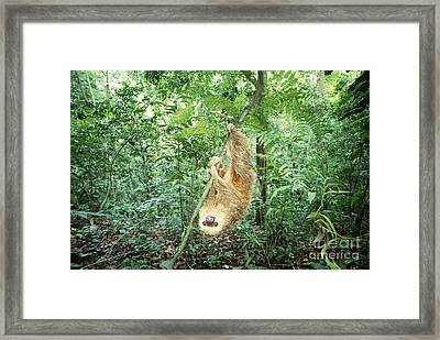 Hoffmans Two-toed Sloth Framed Print by Art Wolfe