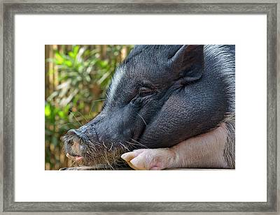 Hog, Philippines Framed Print by Keren Su