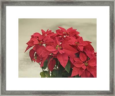 Holiday Poinsettia Framed Print by Kim Hojnacki