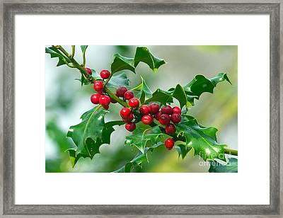 Holly Berries Framed Print by Sharon Talson