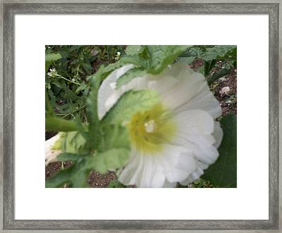 Holly Hock Framed Print by Erica  Darknell