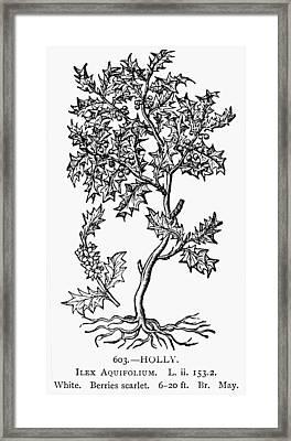 Holly Tree, 1581 Framed Print by Granger