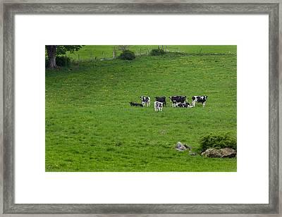 Holsteins Framed Print by Bill Wakeley