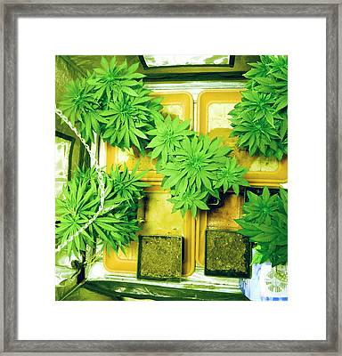 Home Grown Cannabis Plants. Framed Print by Photostock-israel