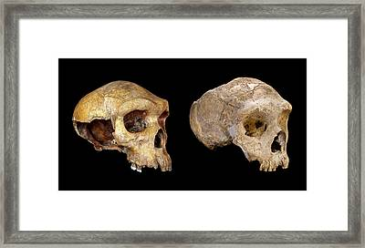 Homo Neanderthalensis Crania Framed Print by Natural History Museum, London