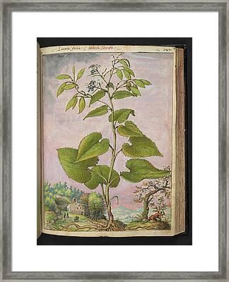Honesty (lunaria Sp.) Framed Print by British Library