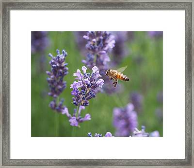 Honey Bee And Lavender Framed Print by Rona Black