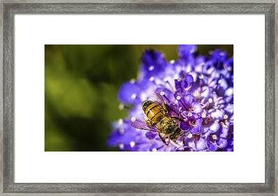 Honey Bee Framed Print by Caitlyn  Grasso