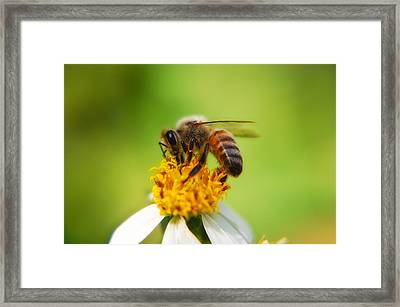 Honey Bee Framed Print by Rich Leighton