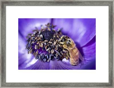 Honeybee And Anemone  Framed Print by Priya Ghose