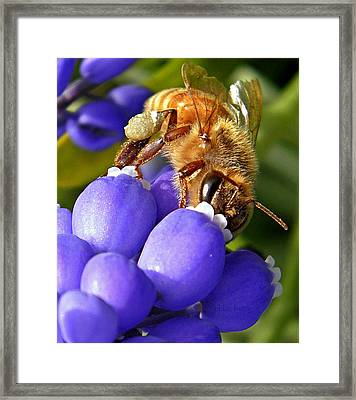 Honeybee And Muscari Framed Print by Chris Berry