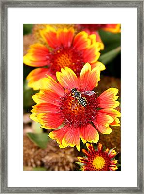 Honeybee On Coreopsis Framed Print by Paula Tohline Calhoun