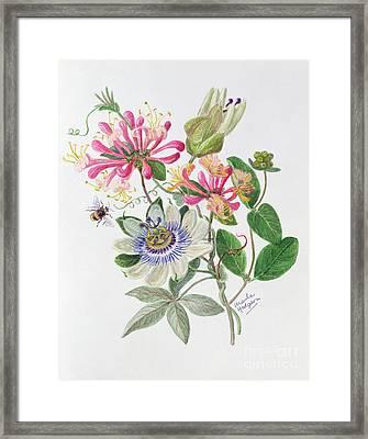 Honeysuckle And Passion Flower  Framed Print by Ursula Hodgson