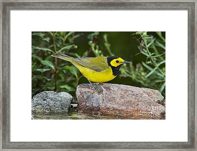 Hooded Warbler Framed Print by Anthony Mercieca