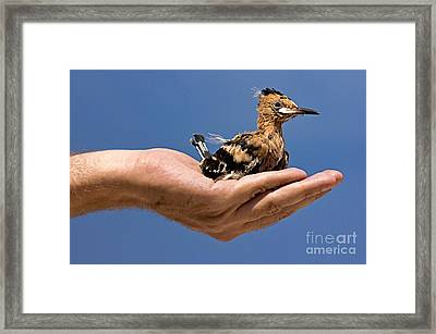 Hoopoe Framed Print by Rossana Coviello