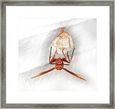Hornet Preparing Paper Nest Framed Print by Natural History Museum, London