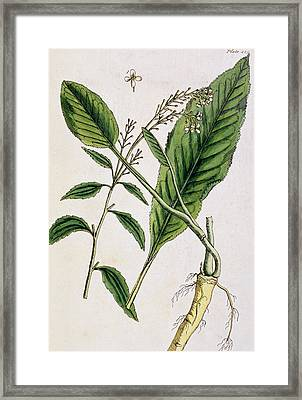 Horseradish Framed Print by Elizabeth Blackwell