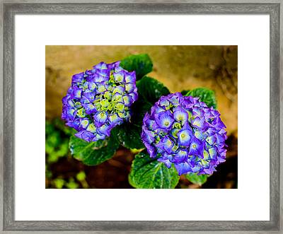 Hortensia Framed Print by Marco Oliveira