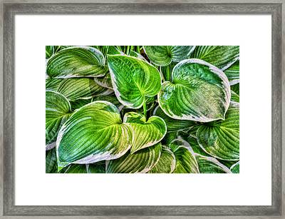 Hosta La Vista Framed Print by Paul Wear