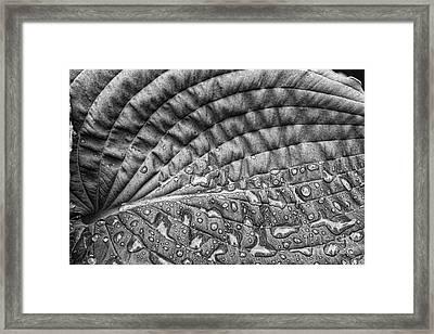 Hosta Leaf Framed Print by Cindi Ressler