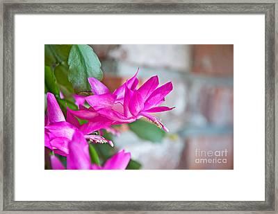 Hot Pinnk Christmas Cactus Flower Framed Print by Valerie Garner