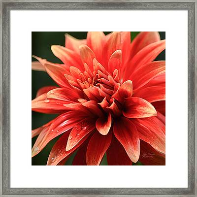 Hot Tamale Dahlia Framed Print by Julie Palencia