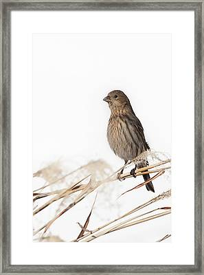 House Finch Female Framed Print by Bill Wakeley