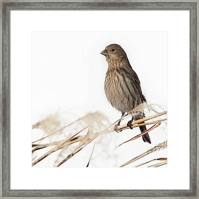 House Finch Female Square Framed Print by Bill Wakeley