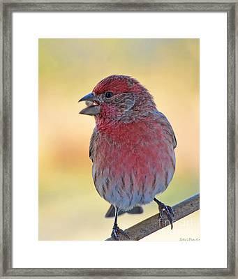 House Finch II Framed Print by Debbie Portwood