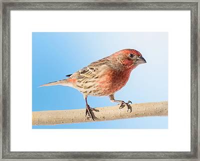 House Finch Framed Print by Jim Hughes