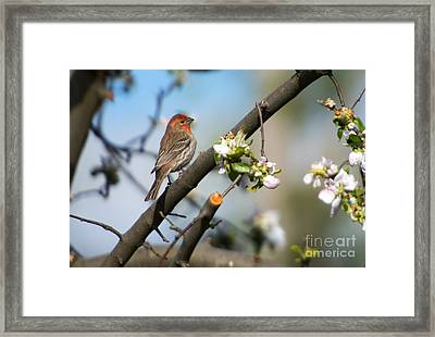 House Finch Framed Print by Mike Dawson