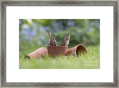 House Sparrows Feeding Framed Print by Tim Gainey