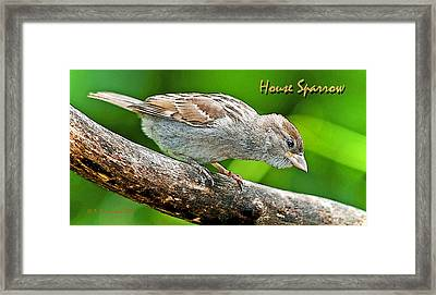 Framed Print featuring the photograph House Sparrow Juvenile Poster Image by A Gurmankin