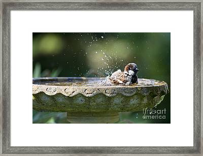 House Sparrow Washing Framed Print by Tim Gainey