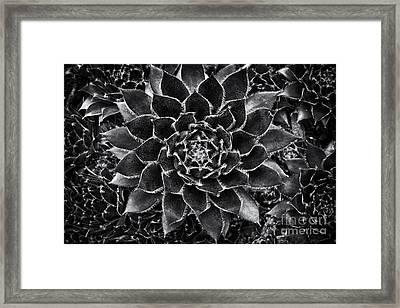 Houseleek Monochrome Framed Print by Tim Gainey
