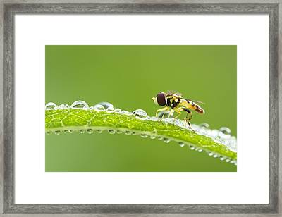 Hoverfly In Dew Framed Print by Mircea Costina Photography