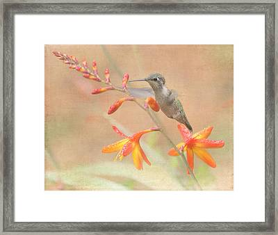Hovering In The Crocosmia Framed Print by Angie Vogel
