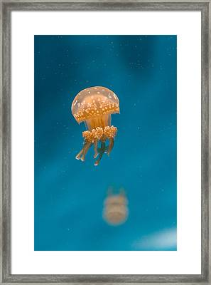 Hovering Spotted Jelly 1 Framed Print by Scott Campbell