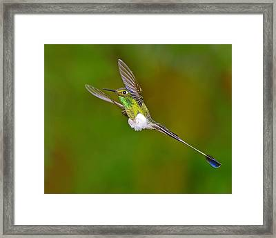 Hovering Framed Print by Tony Beck