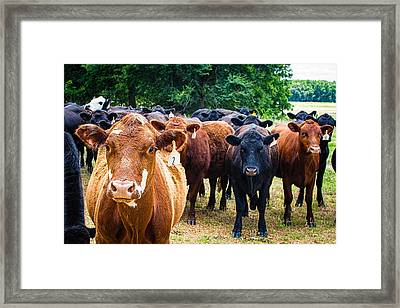 How Now Brown Cow Framed Print by Jon Woodhams