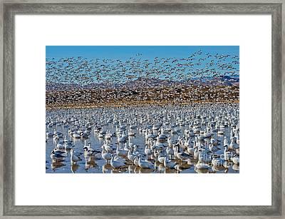 Huge Flock Of Snow Geese Framed Print by Anthony Mercieca