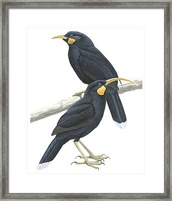 Huia Framed Print by Anonymous
