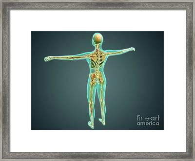 Human Body Showing Skeletal System Framed Print by Stocktrek Images