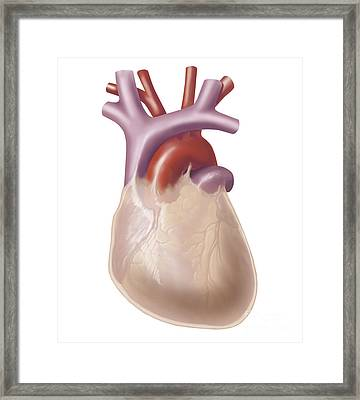Human Heart Covered With Pericardium Framed Print by TriFocal Communications