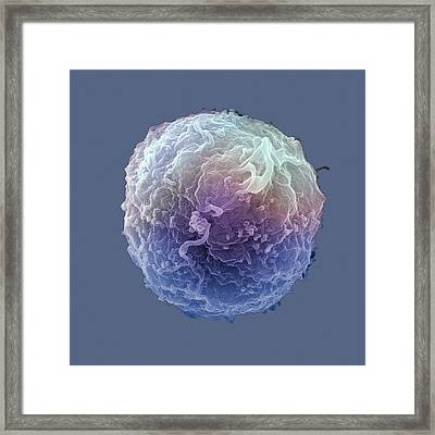 Human Lymphocyte White Blood Cell. Sem Framed Print by Science Stock Photography