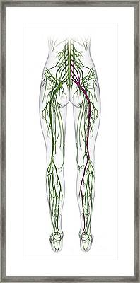 Human Nervous System, Lower Body Framed Print by Raj Dashi / Dorling Kindersley