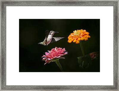 Hummingbird And Summer Blooms Framed Print by Christina Rollo
