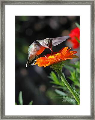 Hummingbird And Zinnia Framed Print by Steve Augustin