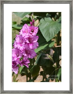 Hummingbird At The Gladiolus Framed Print by Carol Groenen