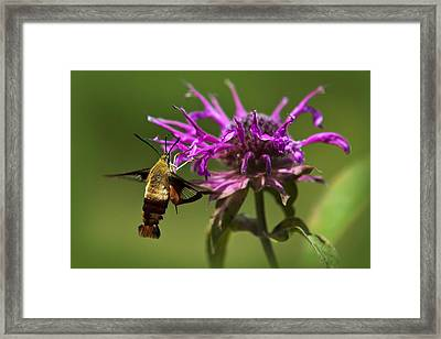 Hummingbird Clearwing Moth Framed Print by Christina Rollo